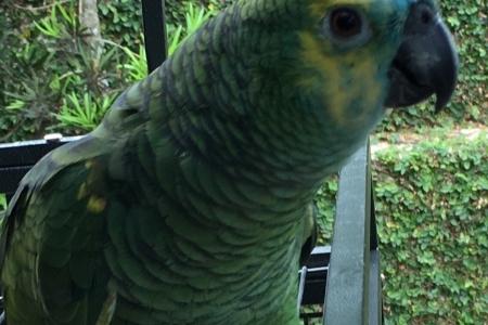 Papagaio legalizado